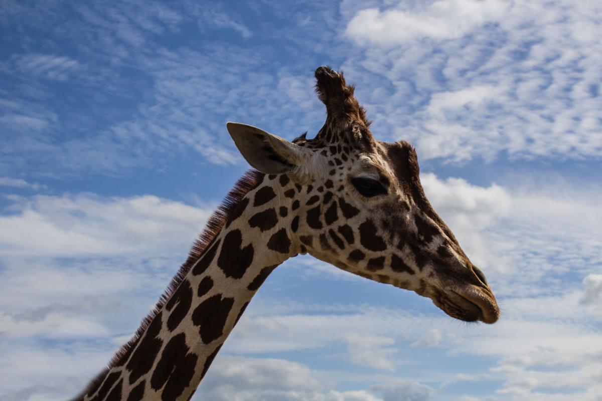 Giraffe Tier Wild #14172