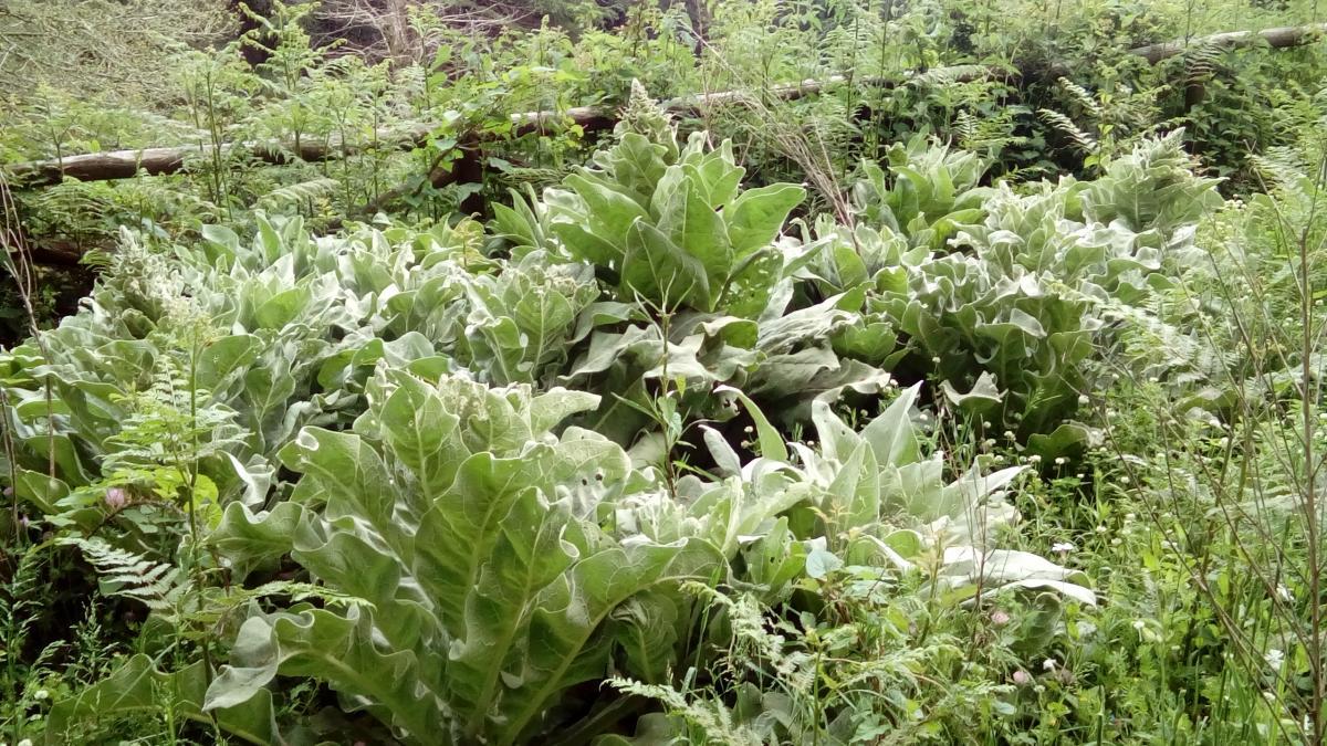 Herb Plant Leaf