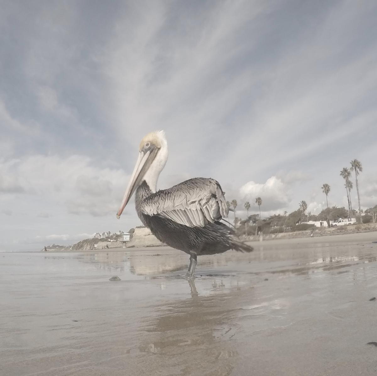 Pelican Aquatic bird Spoonbill