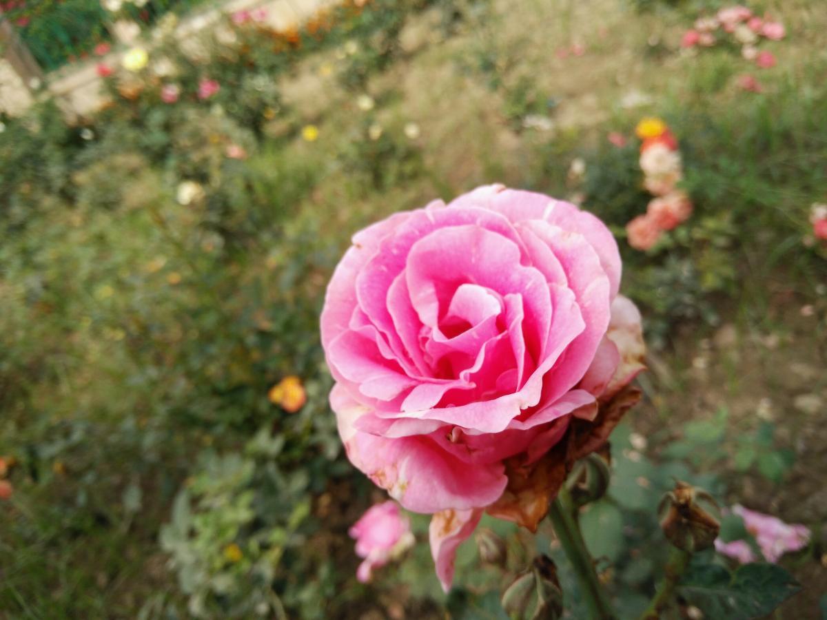 Rose Shrub Pink #142551