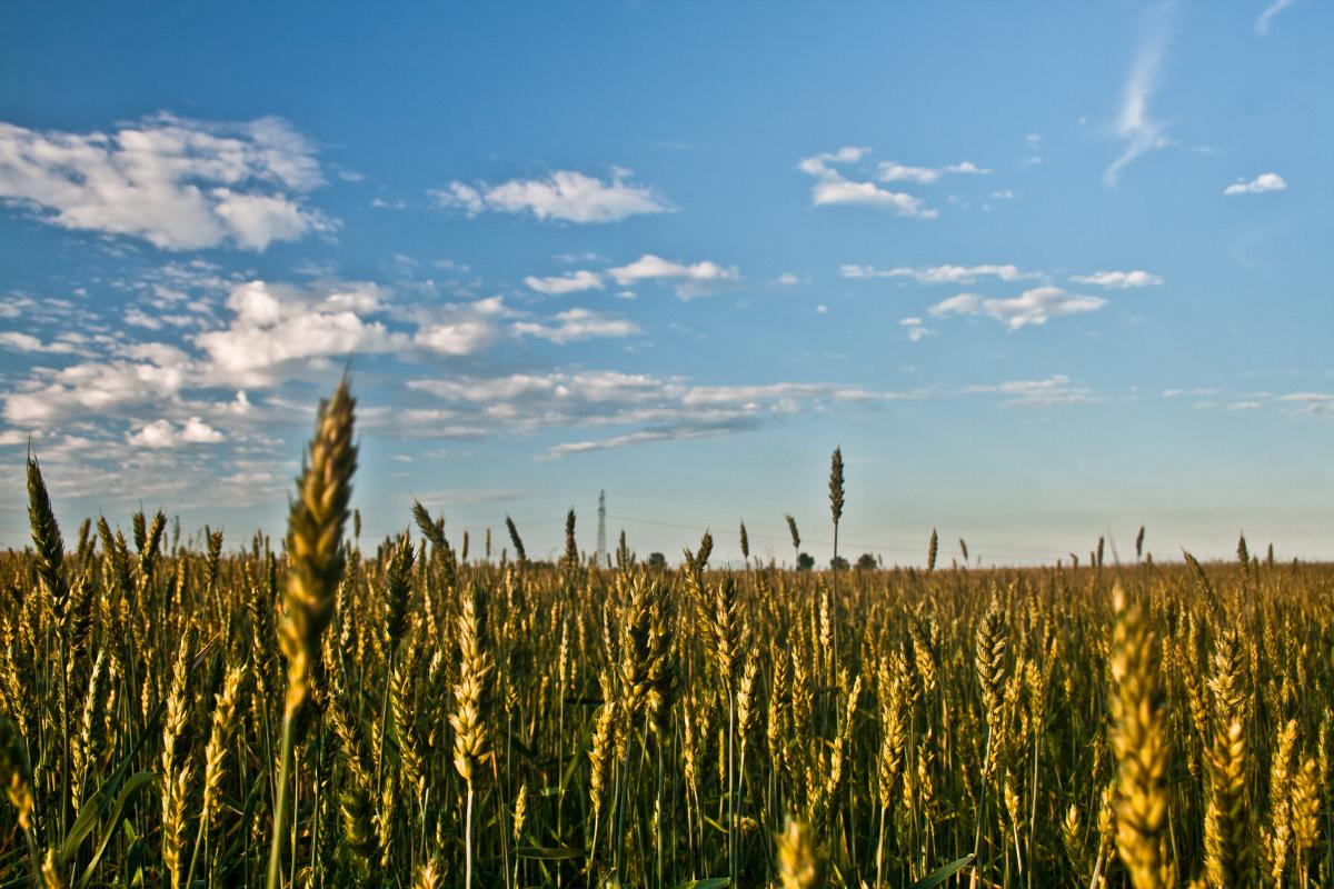 Cereal Wheat Field #14309