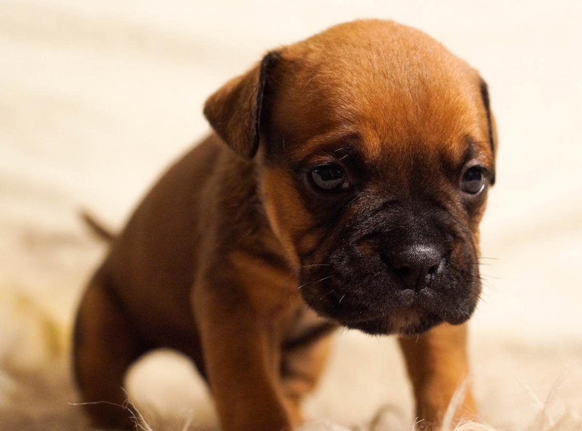 Dog Boxer Canine #14341