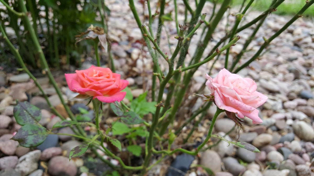 Pink Rose Flower #144576
