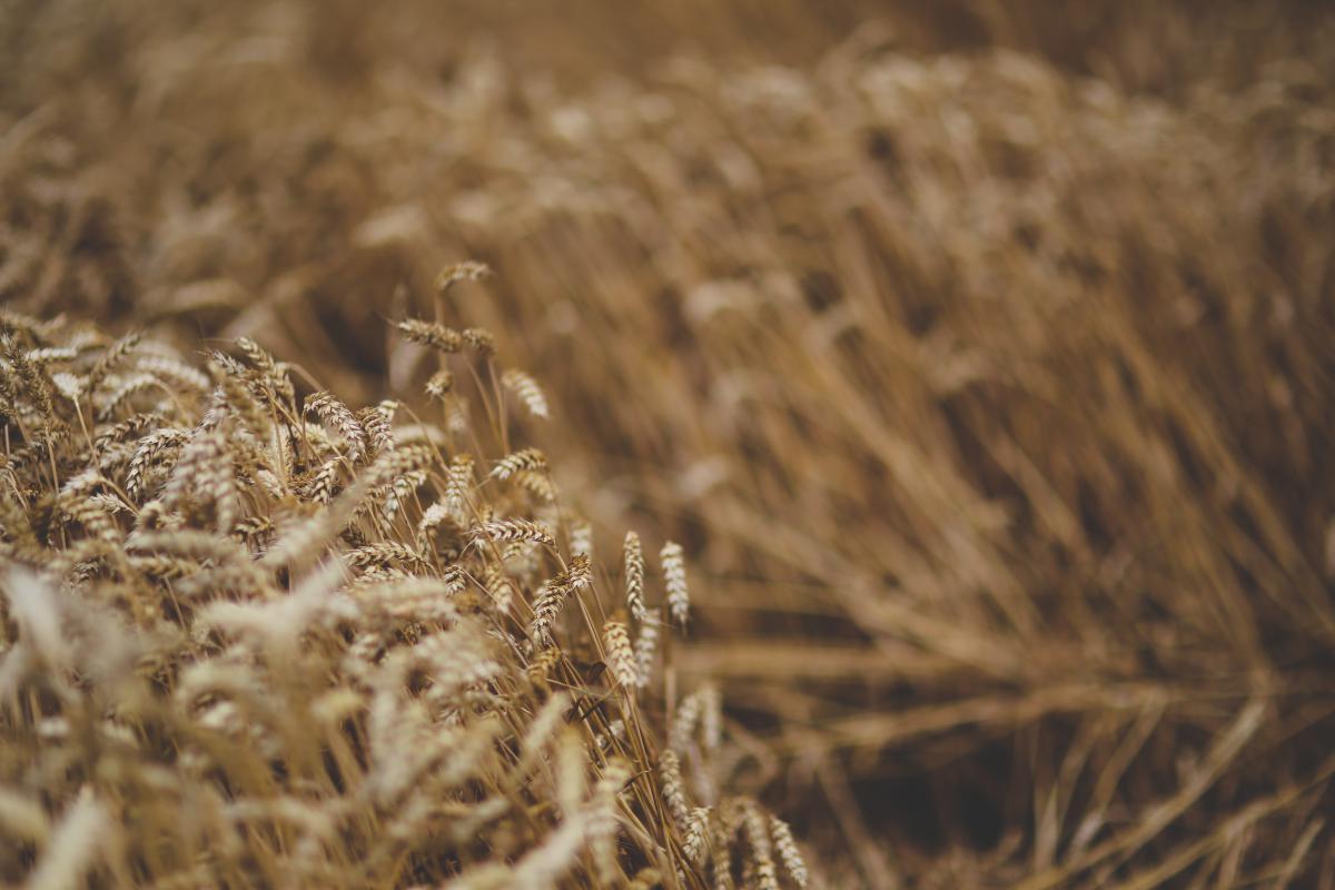 Wheat Cereal Grain #14554