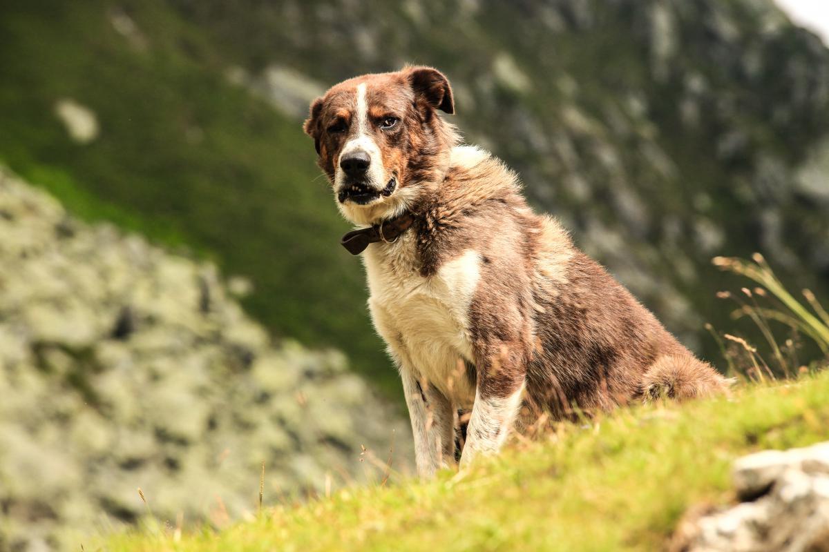 Retriever Animal Dog #14654