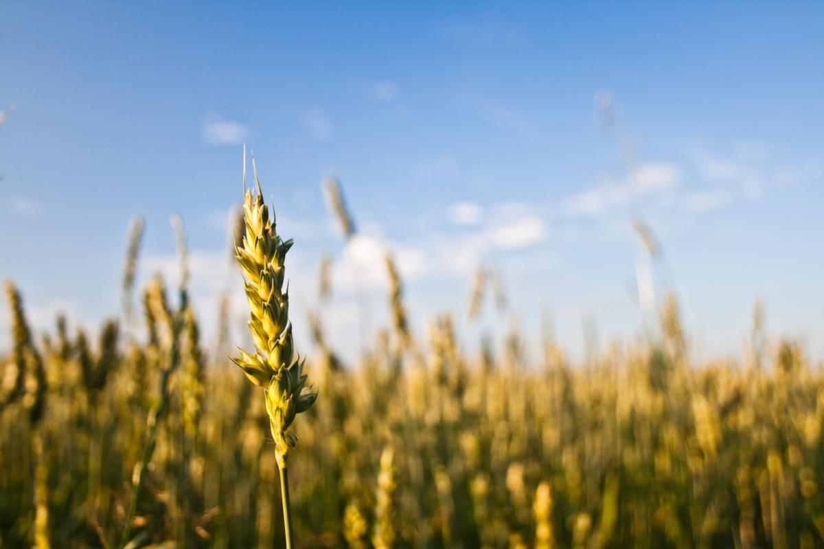 Cereal Wheat Field #14755