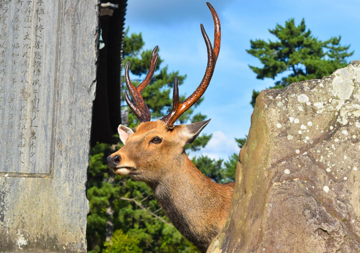 Buck Placental Mammal