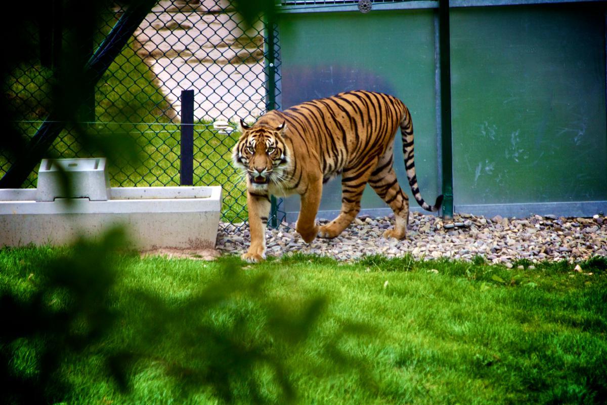 Feline Tiger Big cat #14874