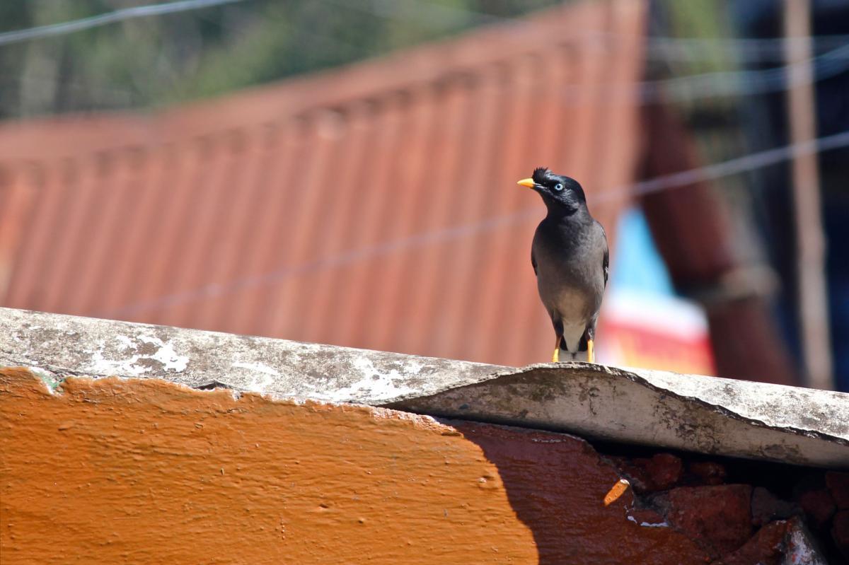 Bird Nightingale Thrush