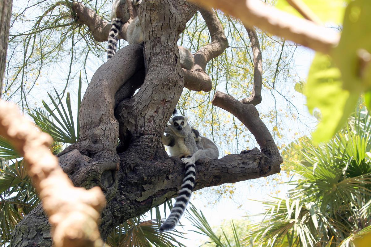Lemur Primate Indri #15158