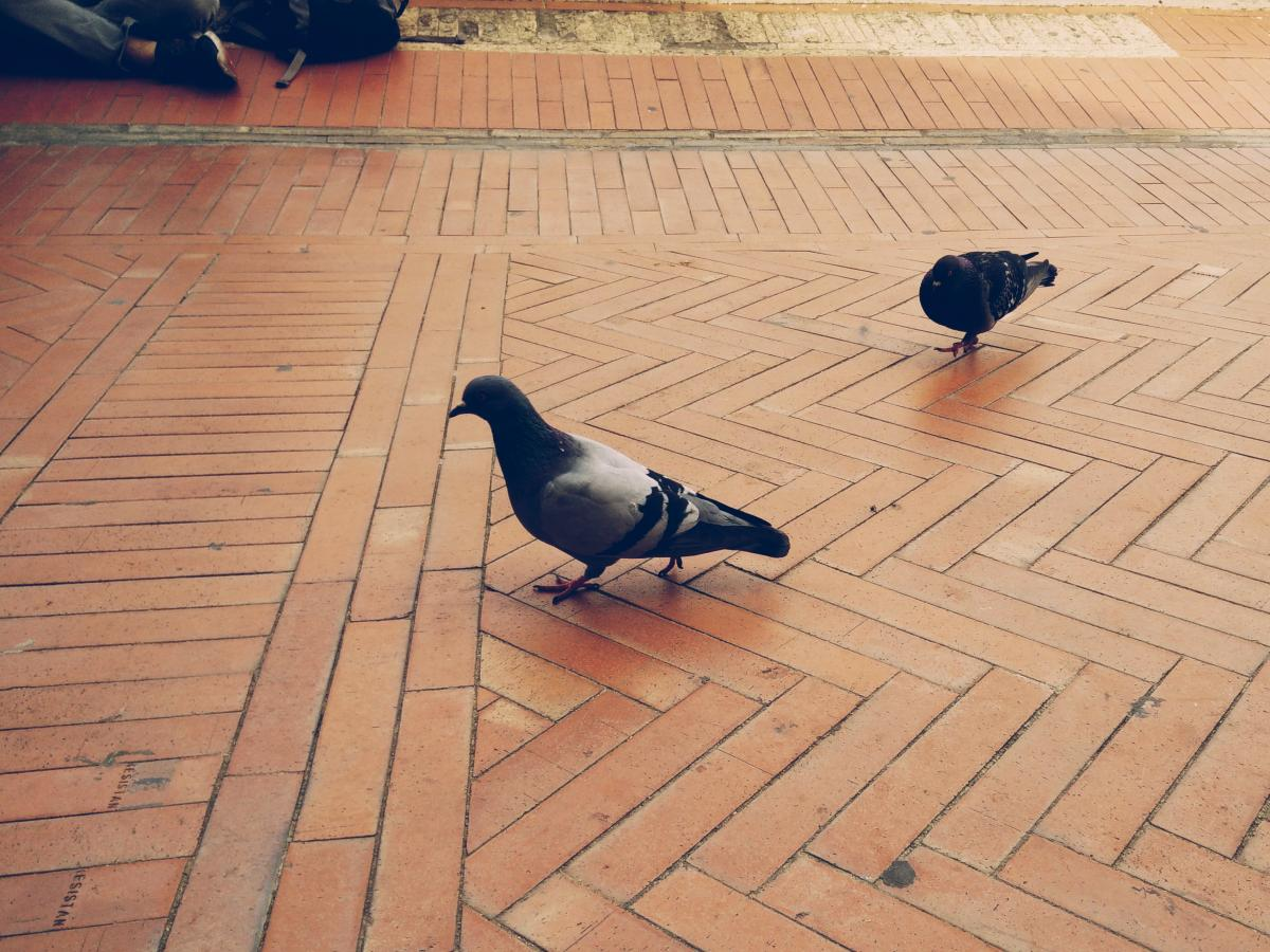 Pigeon Dove Bird #153517