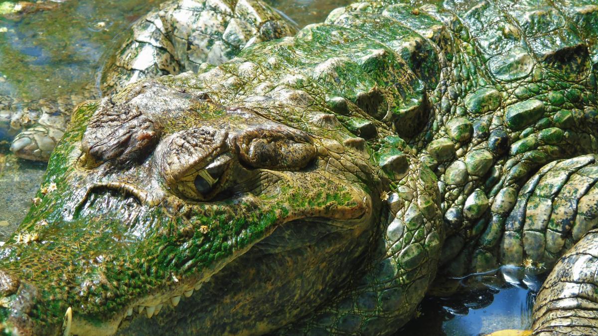 Crocodilian reptile American alligator Reptile