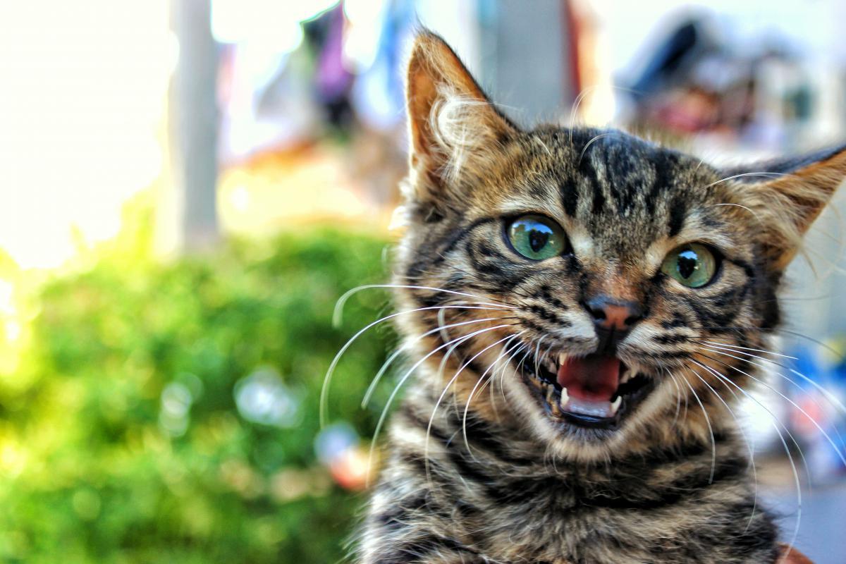 Cat Feline Domestic cat #15617