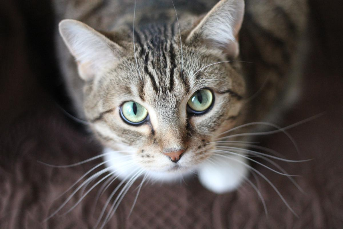 Cat Feline Domestic cat #15706