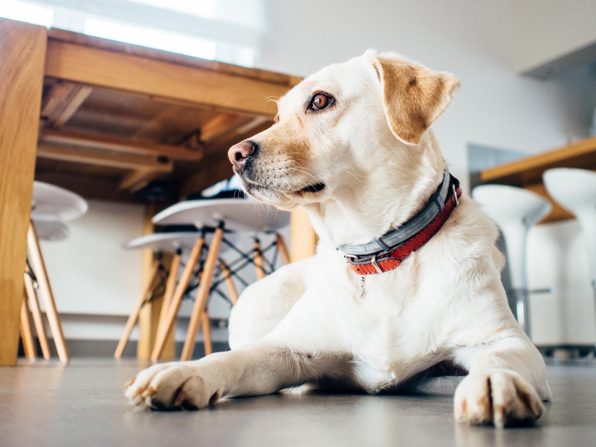 Retriever Dog Pet #16031