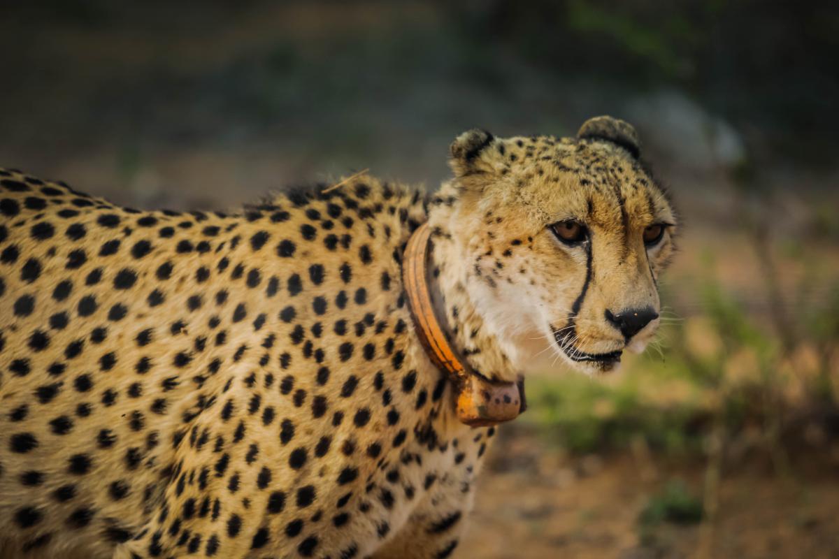 Cheetah Big cat Feline #16053