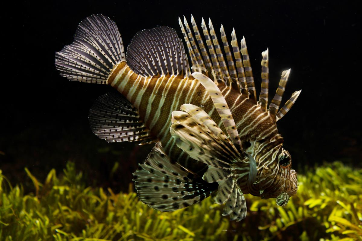 Scorpaenid Lionfish Scorpaenoid #16074