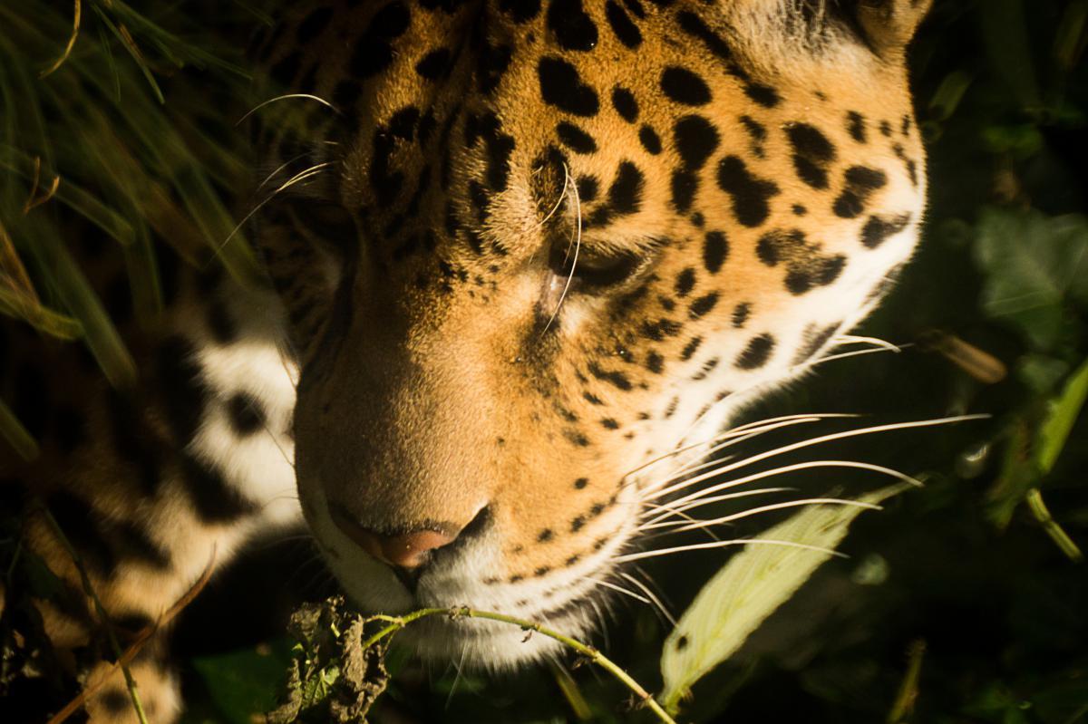 Jaguar Feline Big cat #16161