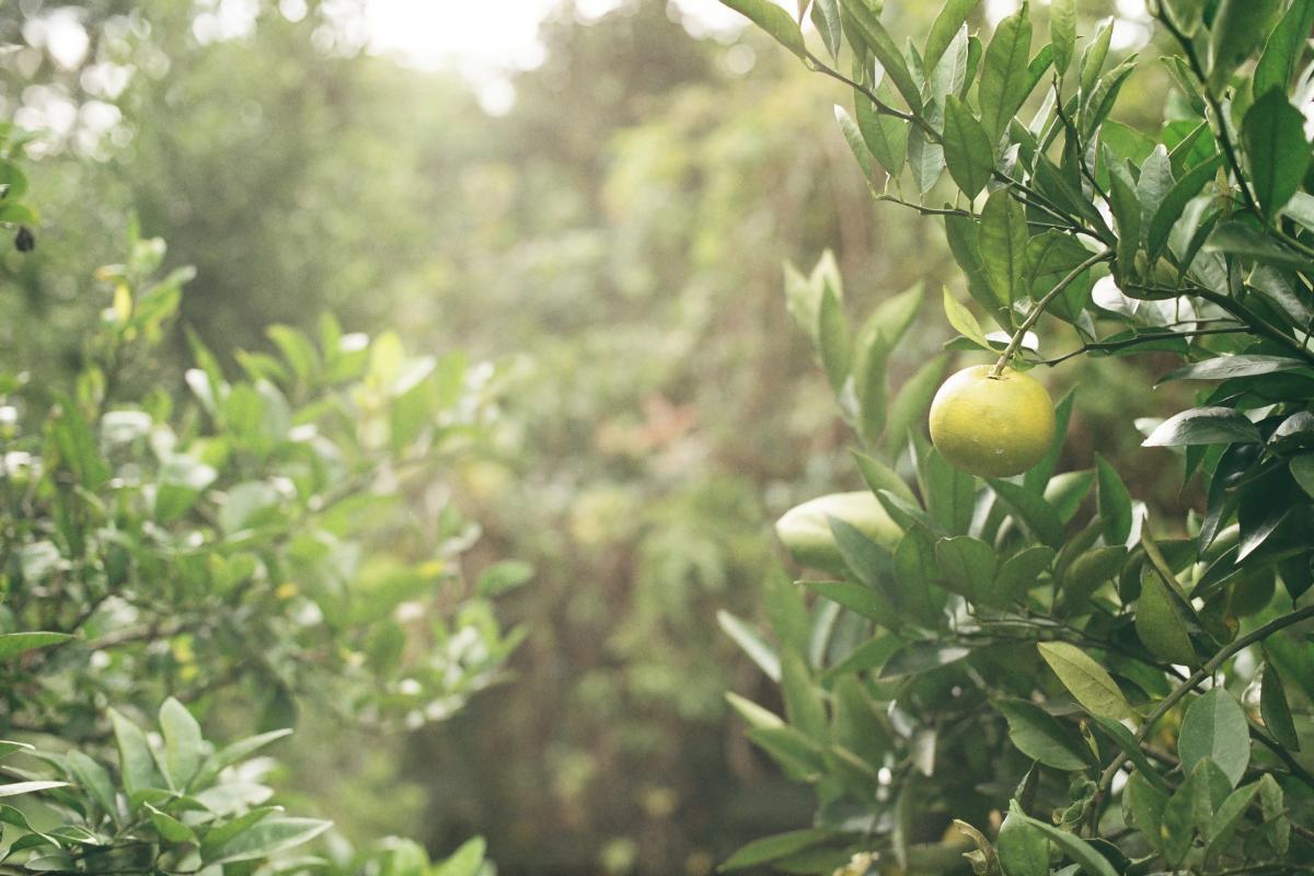Yellow lady's slipper Lady's slipper Fruit #168502