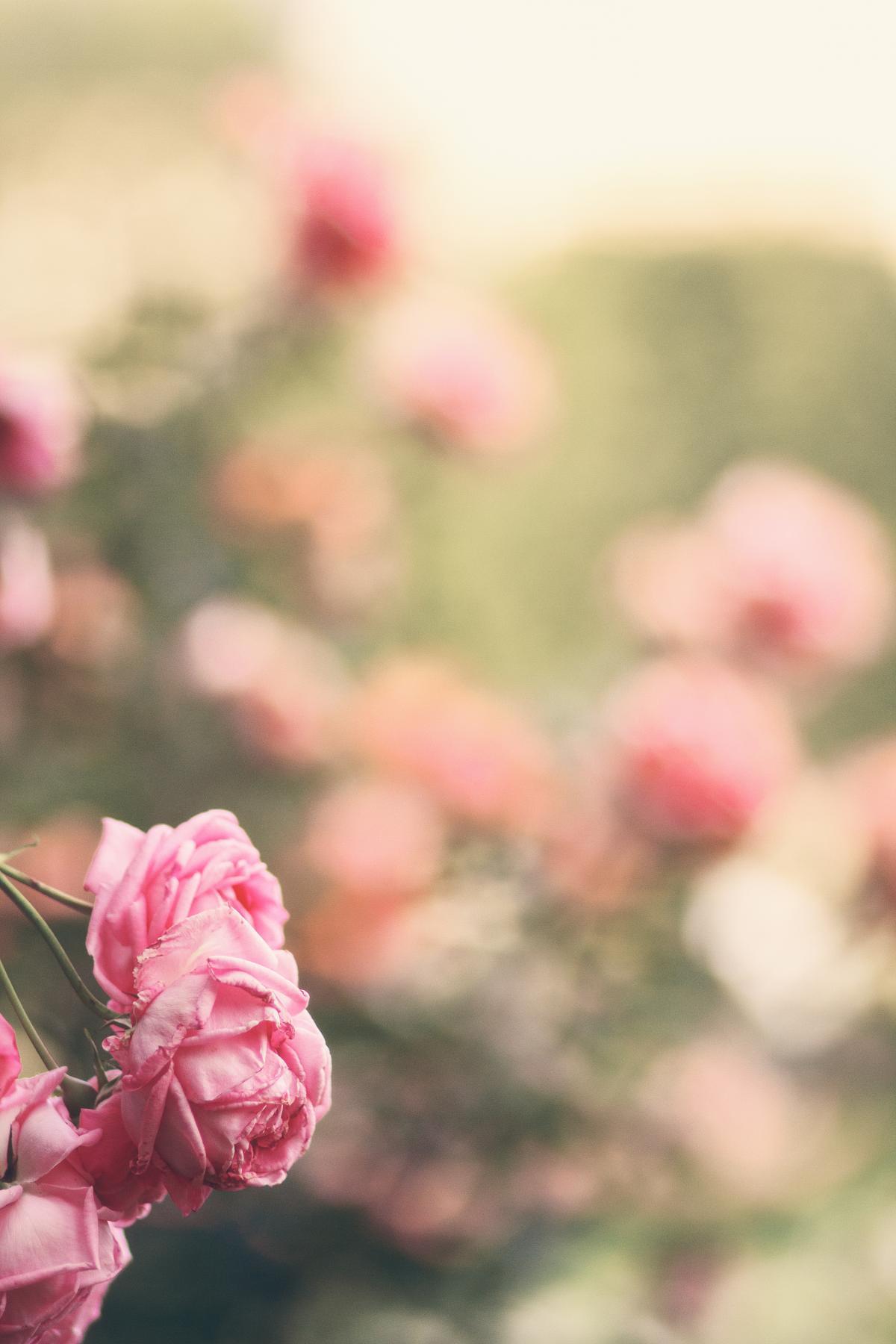 Rose Shrub Petal #169312
