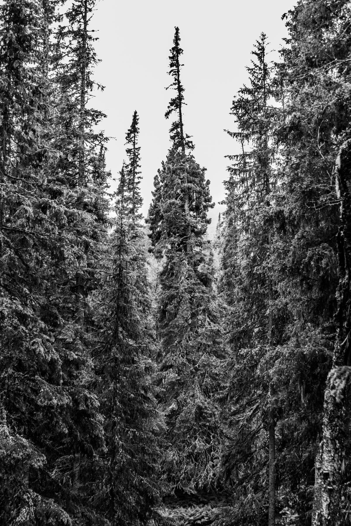 Fir Pine Tree #169977