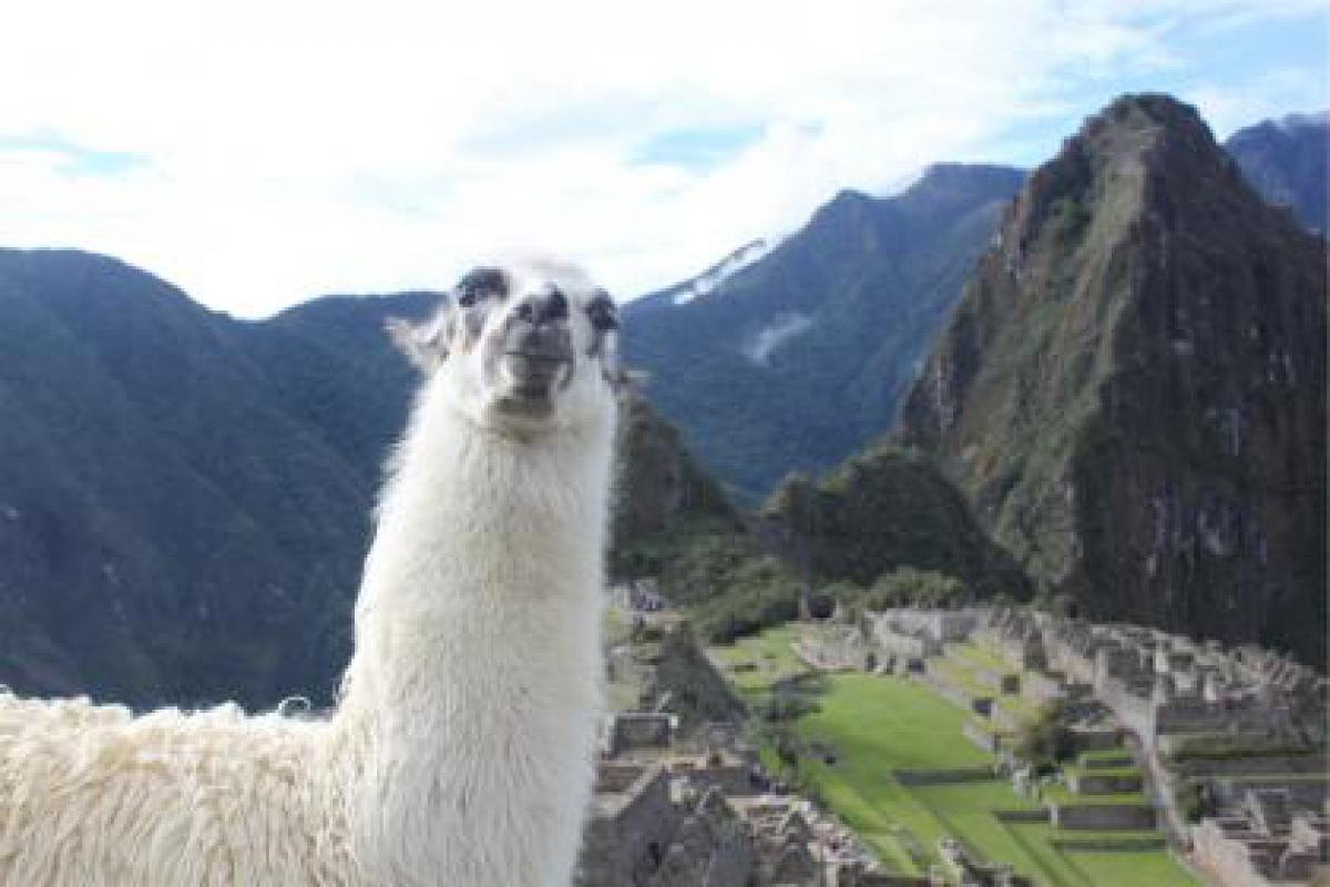 Llama machu picchu peru #17000