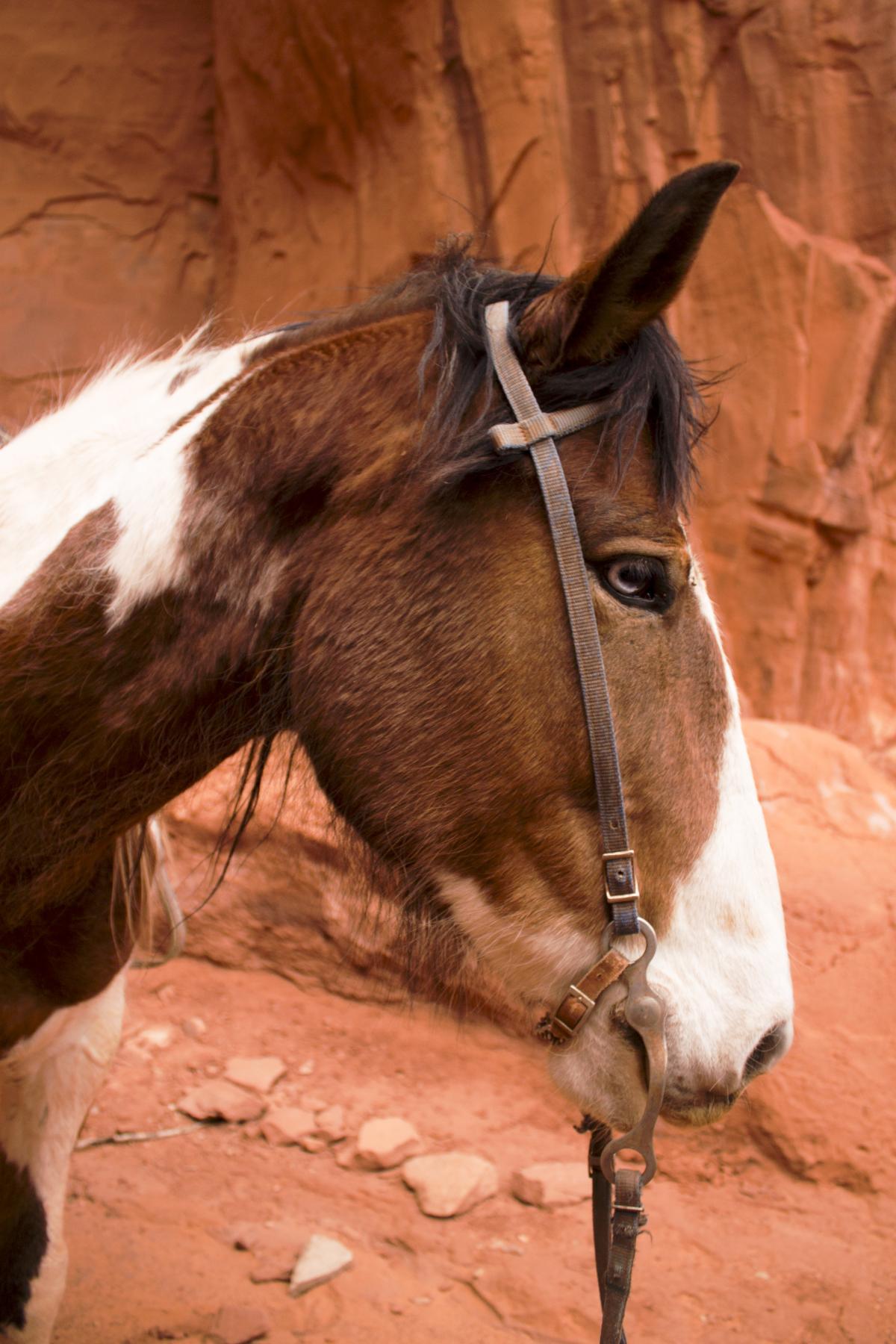 Horse Sorrel Equine #172090
