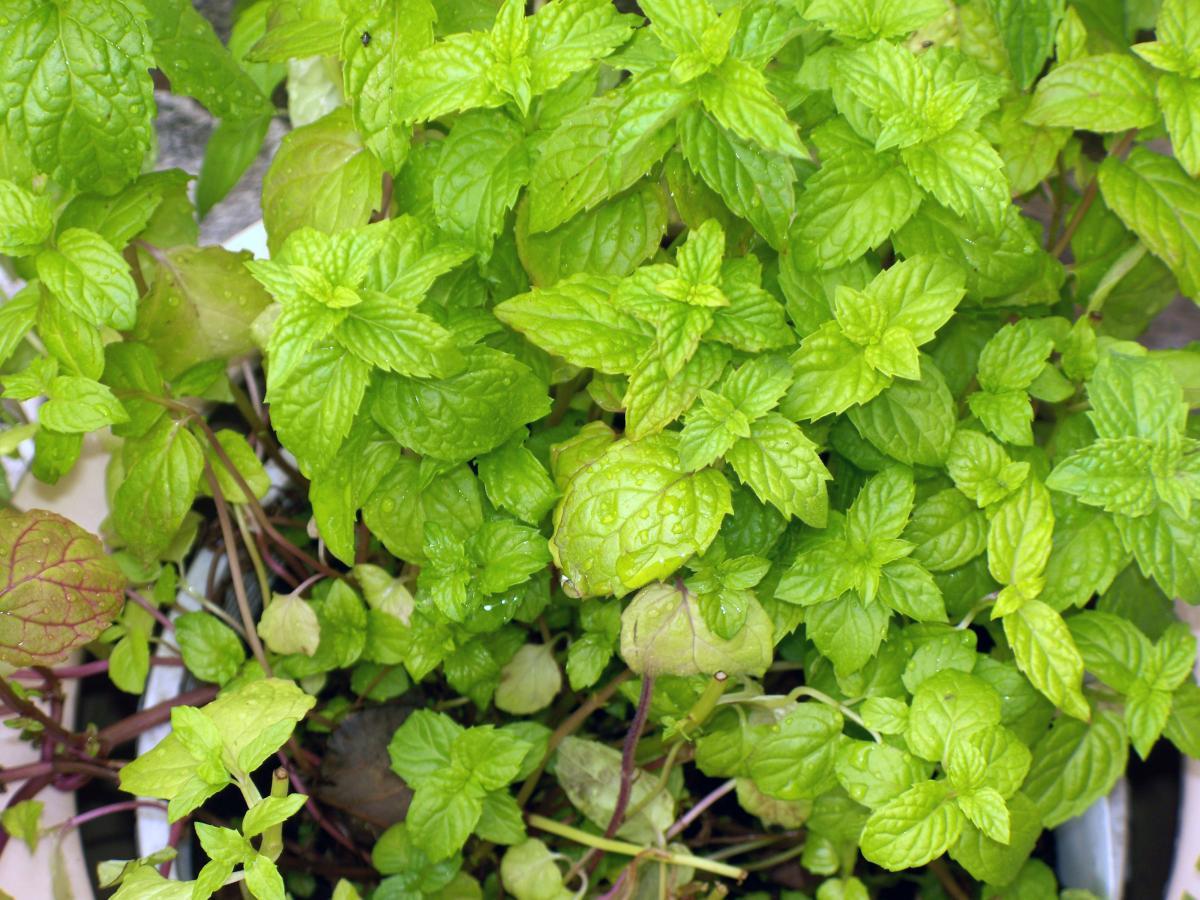 Parsley Herb Basil