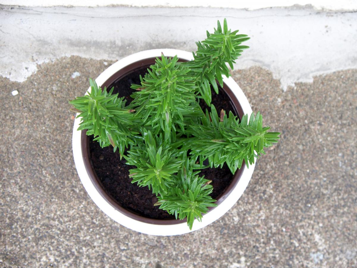 Pot Parsley Container
