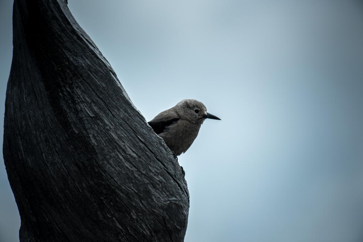 Vogel-Wasser-Ouzel Taube #178445