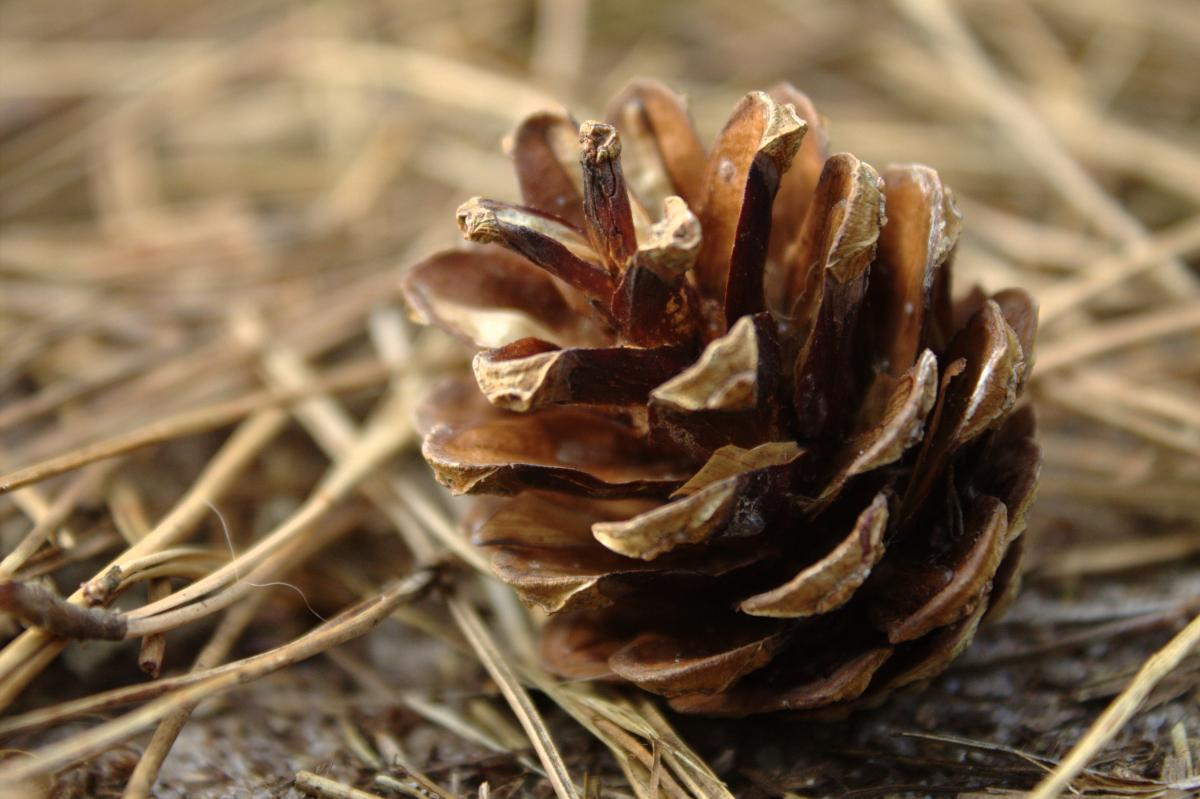 Fungus Seed Hen-of-the-woods