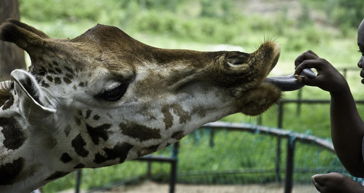 Giraffe Animal Mammal