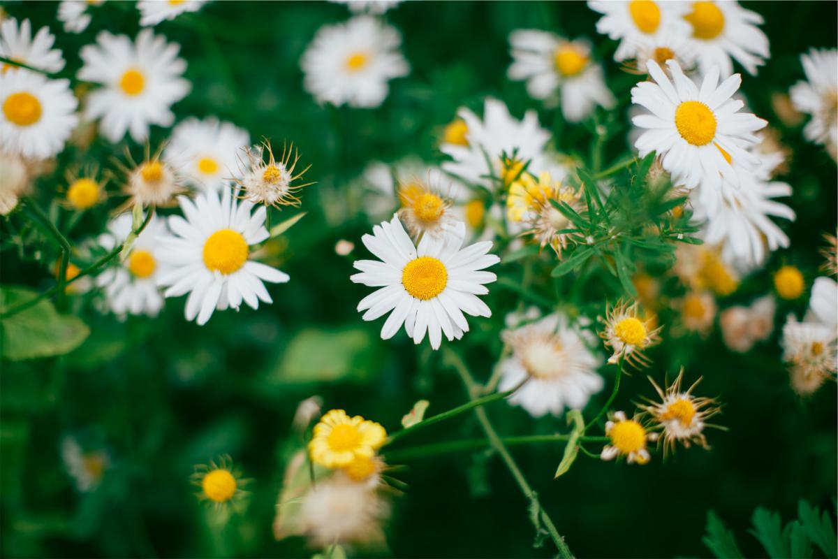 Free Daisies Daisy Flowers 19103 Stock Photo Avopix