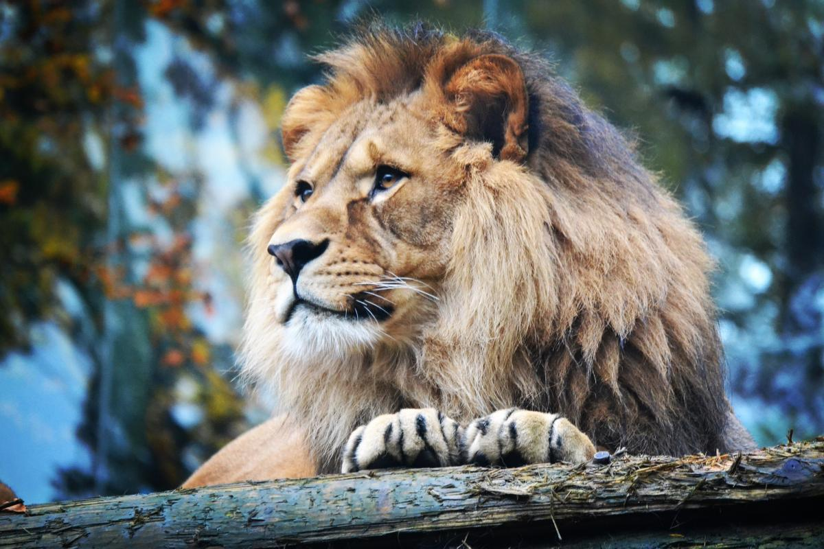Lion Big cat Feline #192916