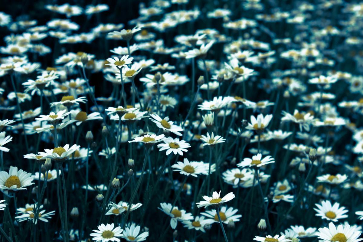 Daisy daisies flowers  #19469