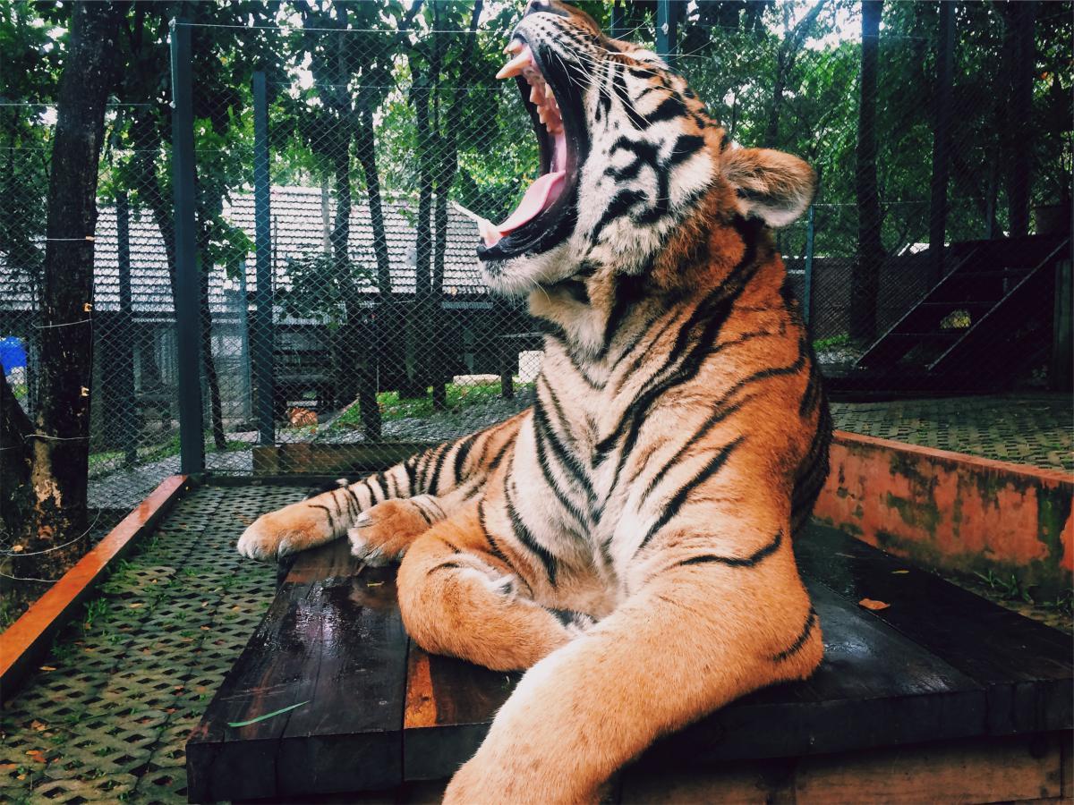 Tiger roar animal  #19677
