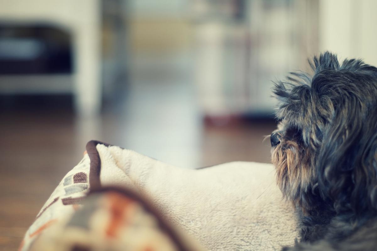 Miniature schnauzer Schnauzer Terrier #196956