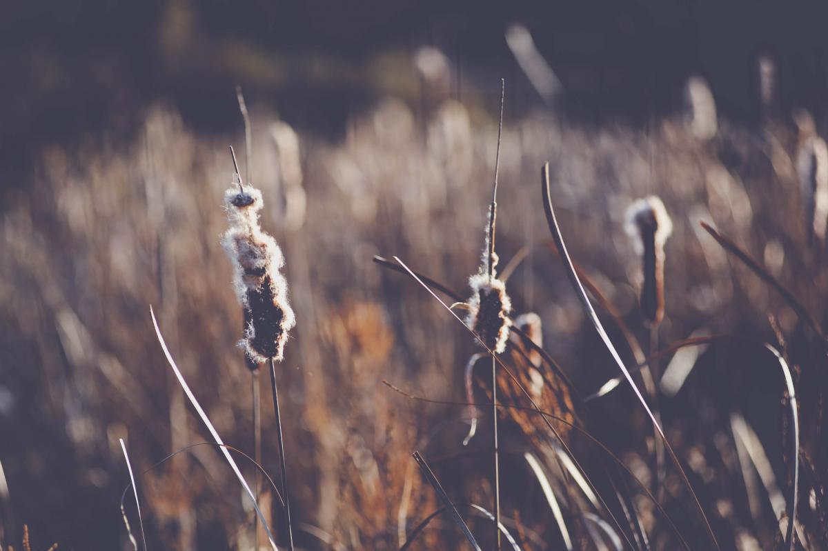 Wheat Plant Sky