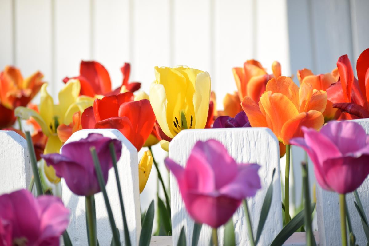 Tulpe Tulpen Frühling #197328