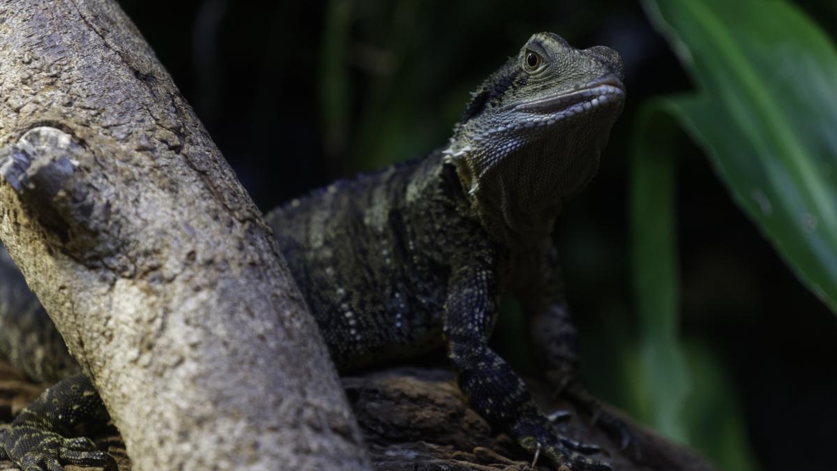 Common iguana Lizard Reptile
