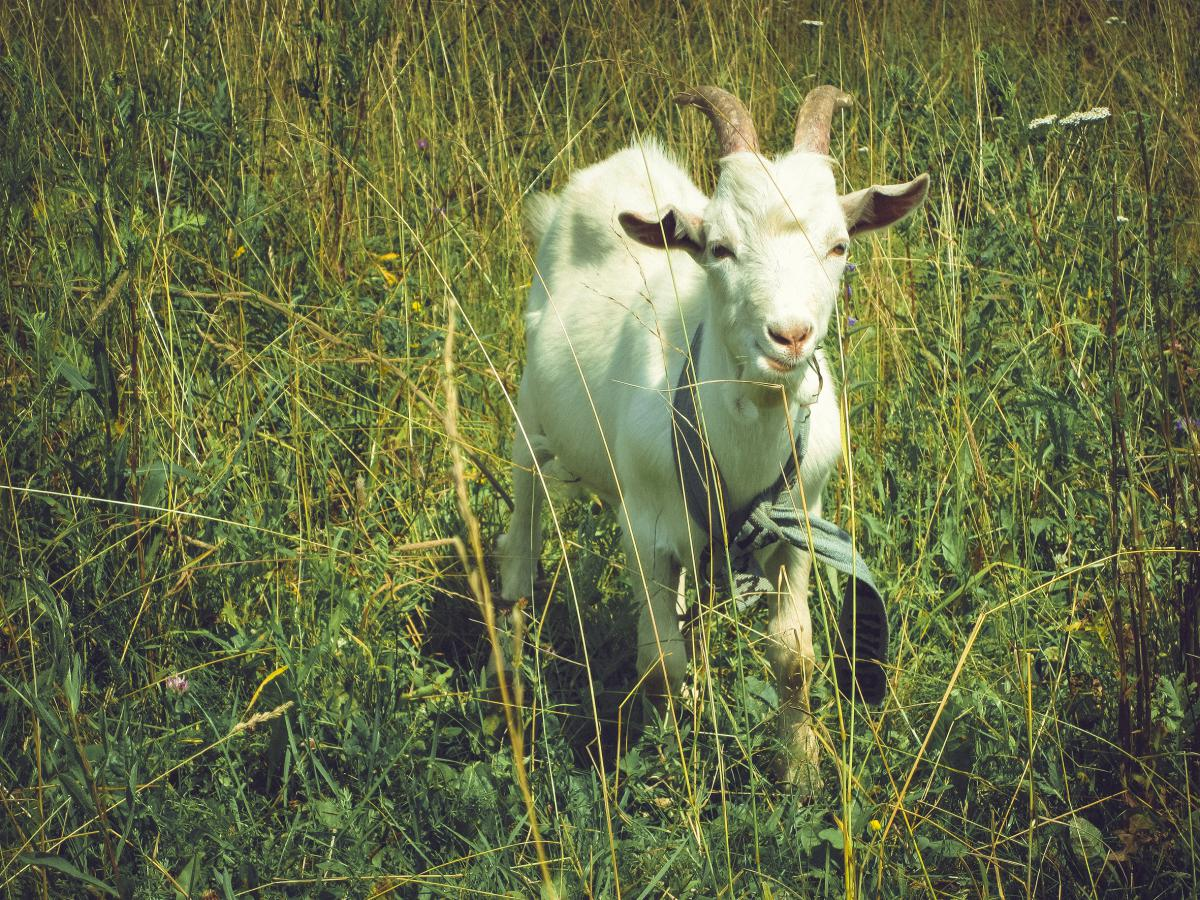 animal goat grass