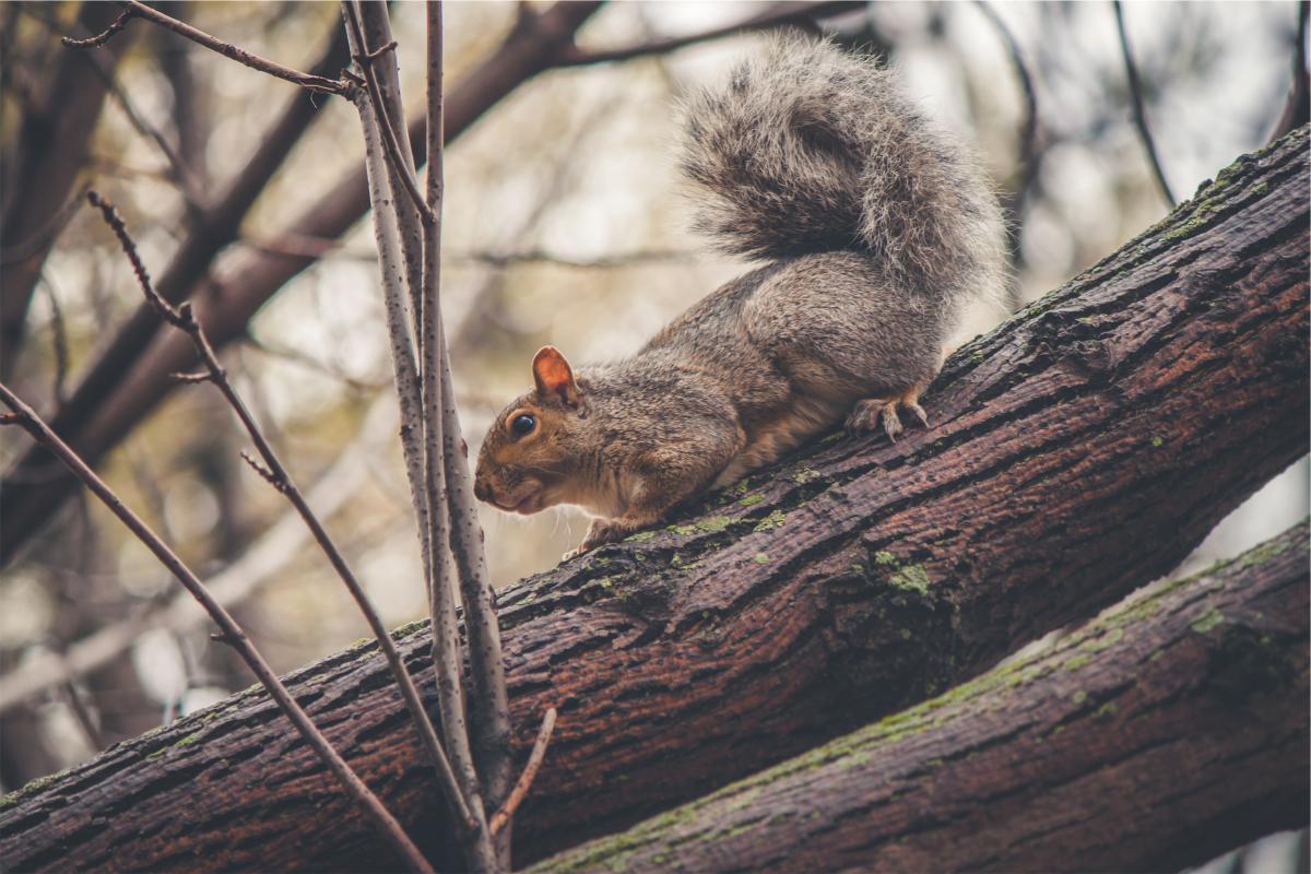 Squirrel animal trees  #20613