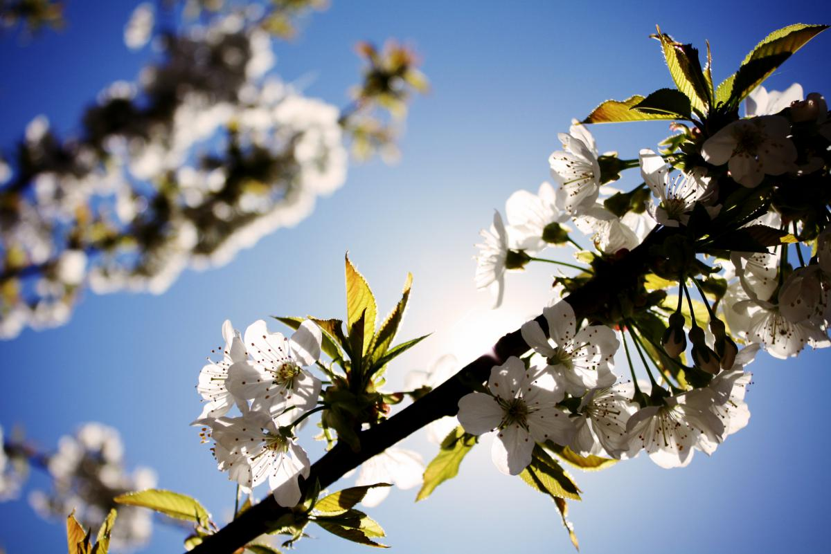 white flowers cherry blossoms