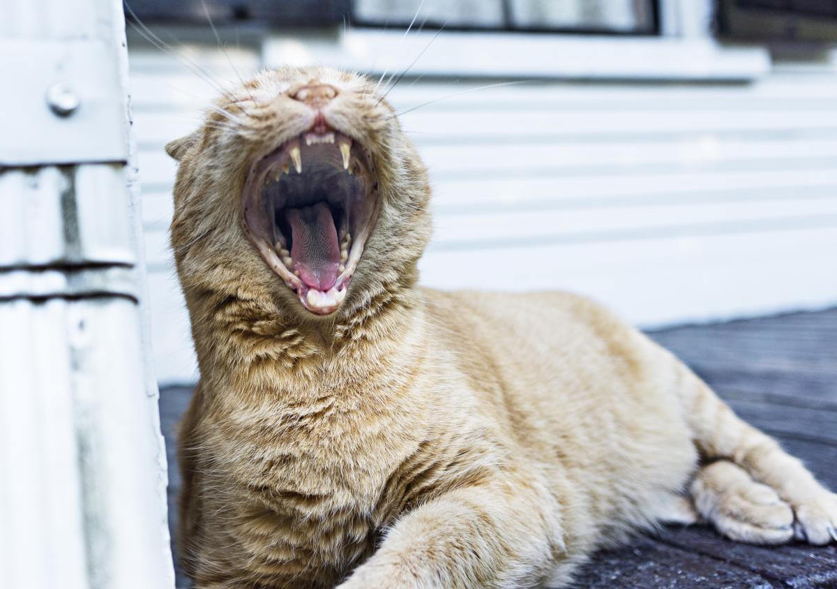 Tiger cat feline  #20943
