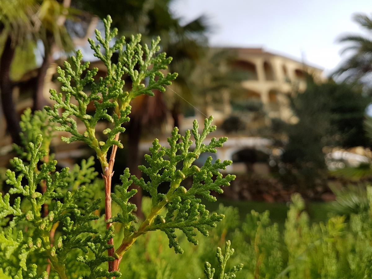 Leaf Plant Parsley