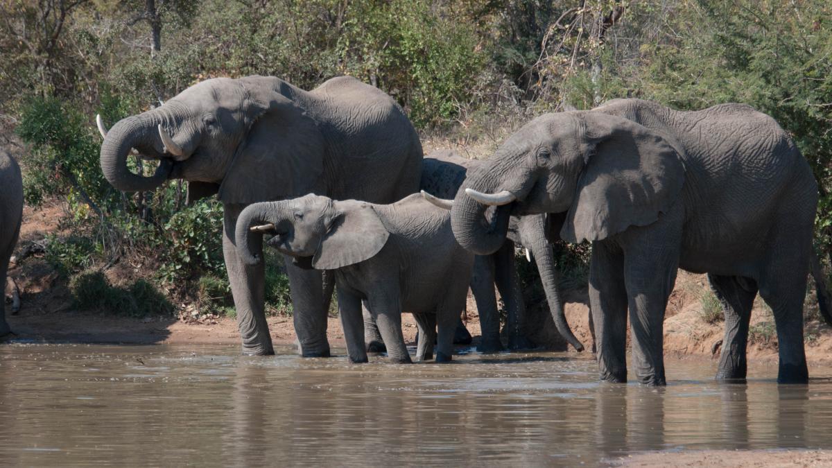 Elephant Mammal African elephant