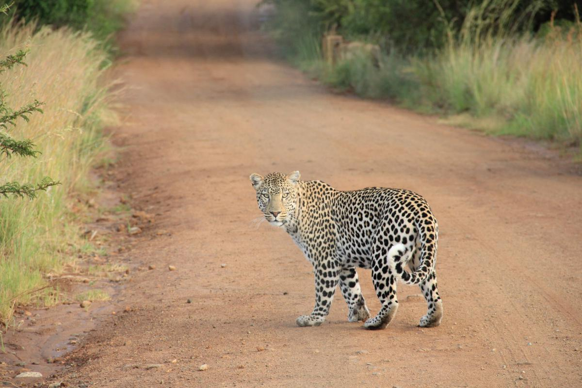Animal tiger cat  #21505