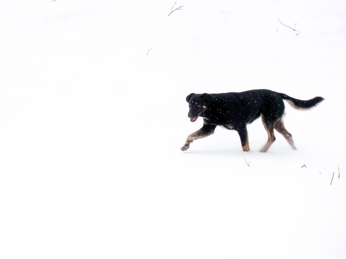 Scottish deerhound Hound Hunting dog #215751