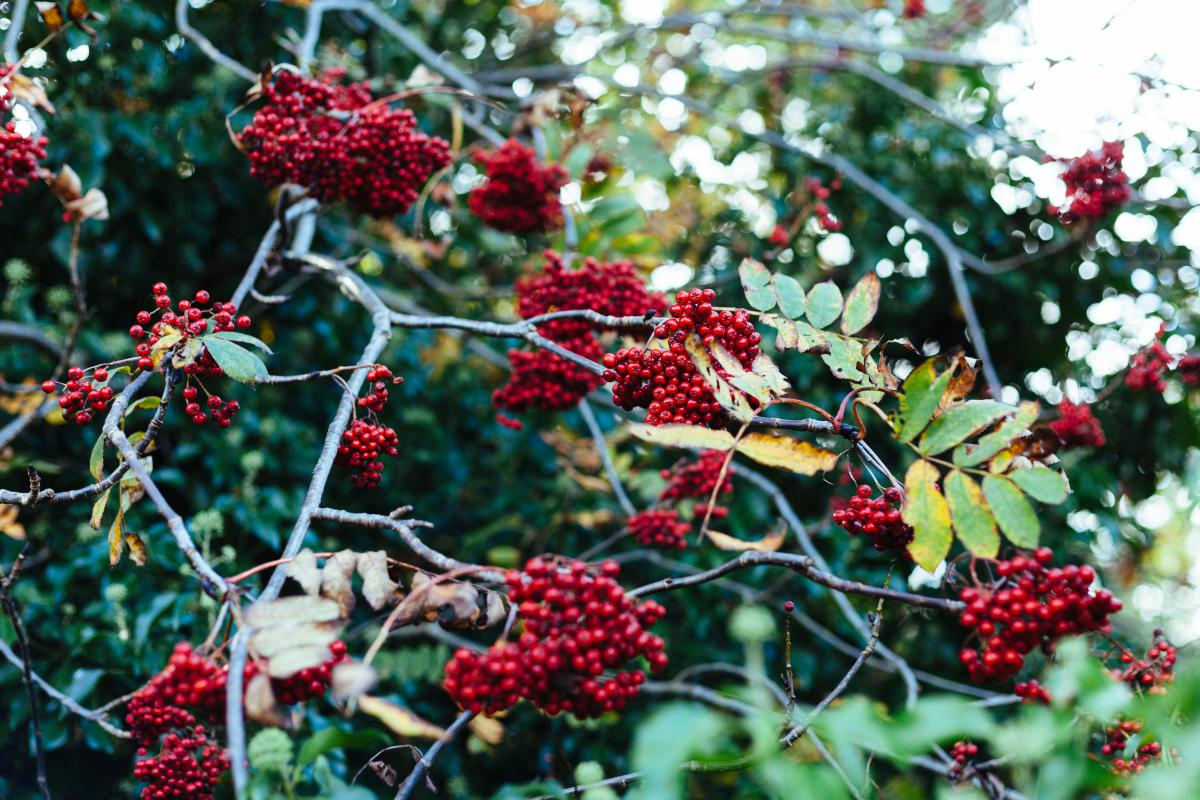 Red berries fruits  #21621