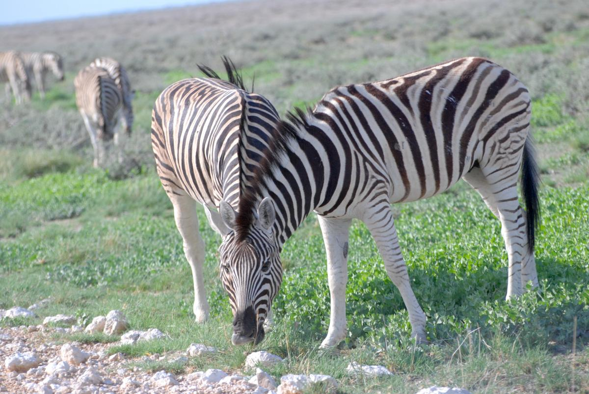 Equine Zebra Ungulate